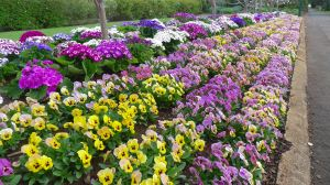 Perfect right now: Pansy, Viola tricolor and Cineraria, Pericallis x hybrida