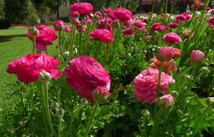 Perfect right now: Persian Buttercup, Ranunculus asiaticus