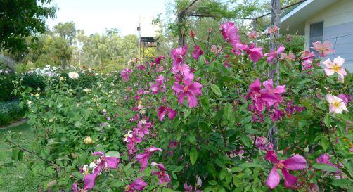 Rosa chinensis 'Mutabilis', Kyneton, Barcaldine