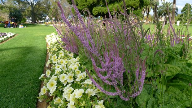 Exquisite combination: Russian or Rat-tail statice, Psylliostachys suworowii (syn. Limonium) with petunia