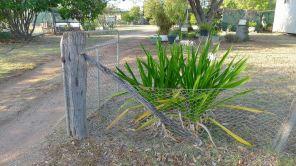Swamp Lily, Crinum pedunculatum