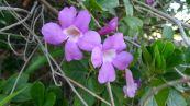 unknown Thunbergia, Barcaldine