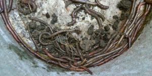 50 worms per sq metre at Bellis