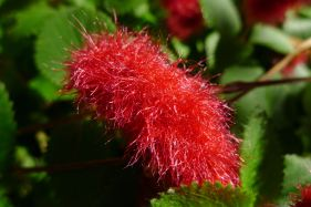 Good choice: Acalypha 'Summer Love'