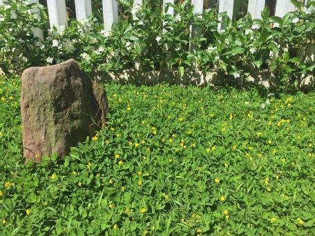 Invasive habit: Pinto peanut, Arachis pintoi