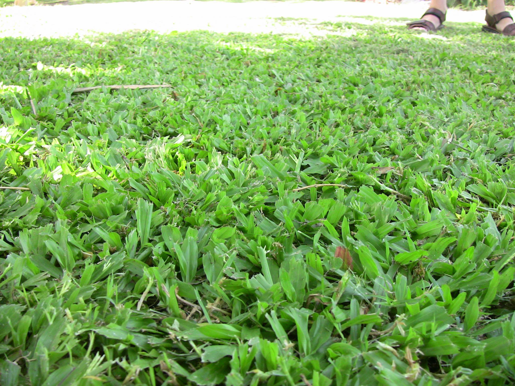 Carpet grass, Axonopus compressus - 501.3KB