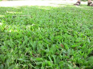 Carpet grass, Axonopus compressus, a disease vector