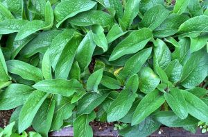 Comfrey - highly regarded but thirsty and intolerant of foot traffic