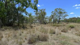 Native grasses amongst Coolabah and Bimblebox, Moree
