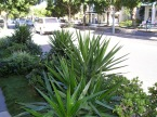 Dangerous nature strips: Yucca in James St, Brisbane