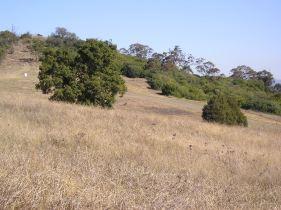 Kangaroo grass, Themeda australis, Mt Annan botanic garden
