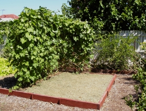 Dried Lawn clippings used as a thin mulch