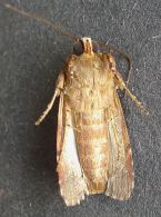 male Lawn Armyworm moth, Spodoptera mauritia