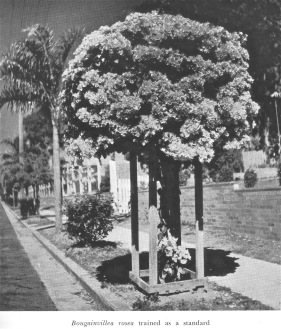 Bougainvillea in nature strip, Brisbane, 1952