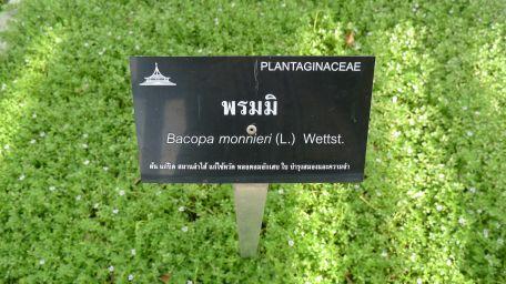 Brahmi herb, Bacopa monnieri