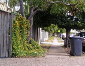 Bad Choice: Invasive Black-eyed Susan (Thunbergia), Norman park