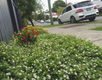 """""""Simple and elegant"""" - Bee-attracting , white-flowered Bacopa"""