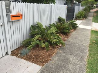 Zamia furfuracea (cycad) and Festuca glauca (grass). Some grow what they see Brisbane City Council planting in its own verge gardens