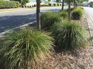 Brisbane City Council uses a range of native plants in its verge gardens. Lomandra 'Tanika' is an excellent choice.
