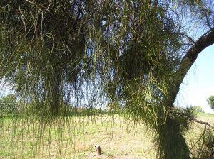 Mistletoe (Amyema cambagei) on Casuarina glauca