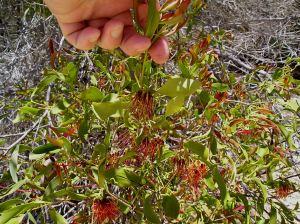 Mistletoe, Fraser Island