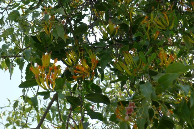 Orange mistletoe, Dendropthoe glabrescens