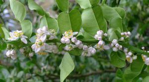 Kaffir lime, Citrus hystrix