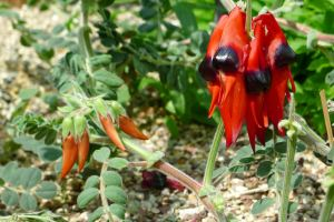 Sturt's desert pea, Swainsona formosus