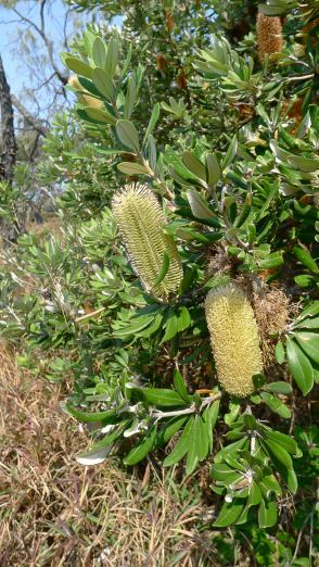 Coast Banksia, B. integrifolia, a perfect garden tree