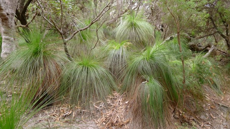 Grasstree, Xanthorrhoea australis, grow best raised from seed. Good for pots.