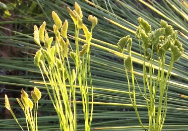 Fertile fronds of Comb fern Schizaea bifida.