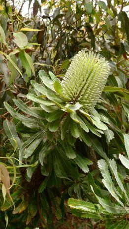 Wallum Banksia, B. aemula