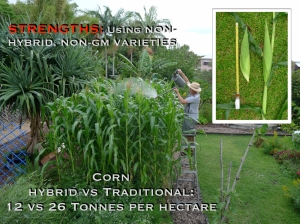 Triple your harvest with NSW-bred 19th century non-hybrid corn