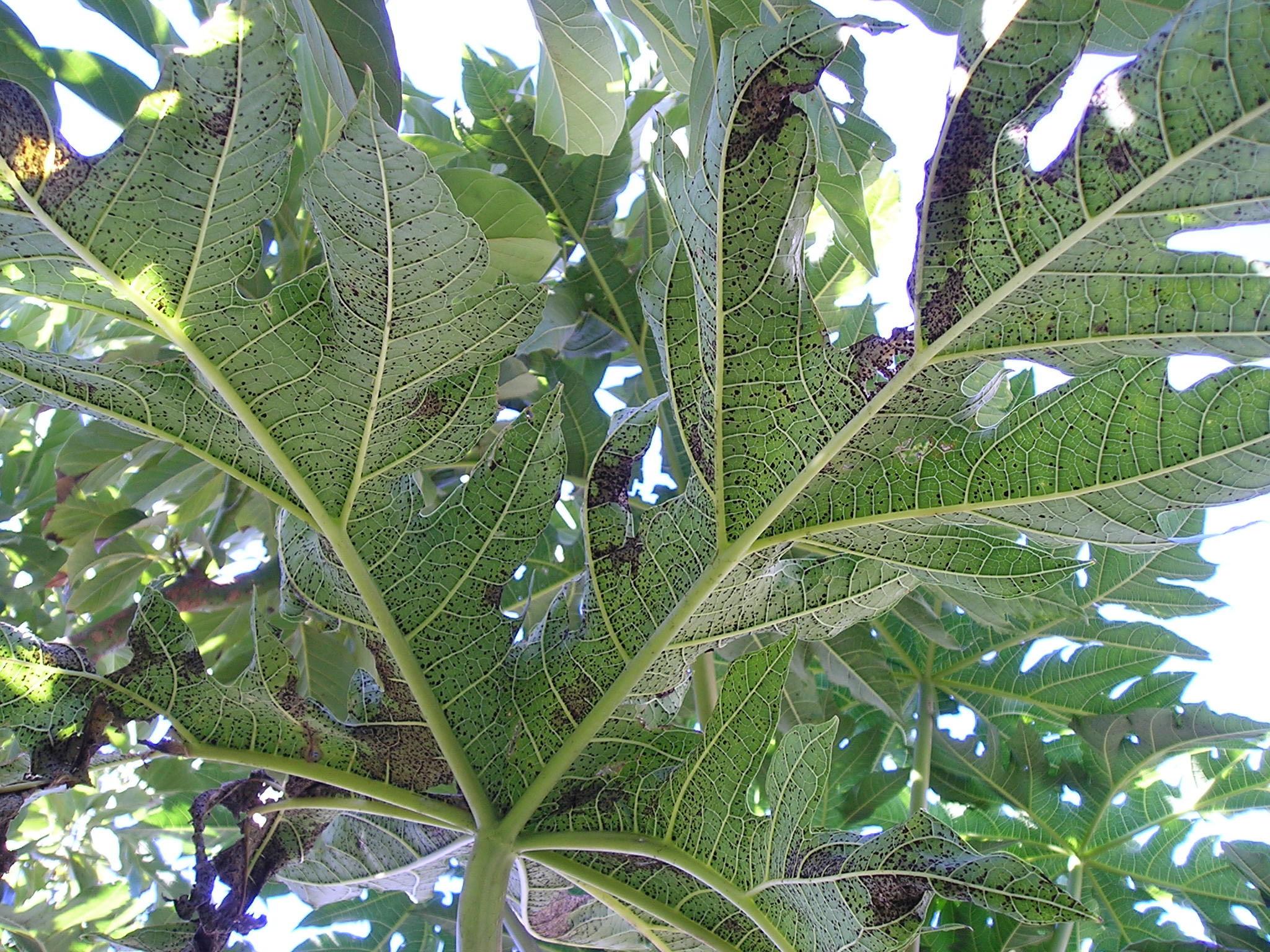 Protecting Pawpaw Plants Against Black Spot Disease