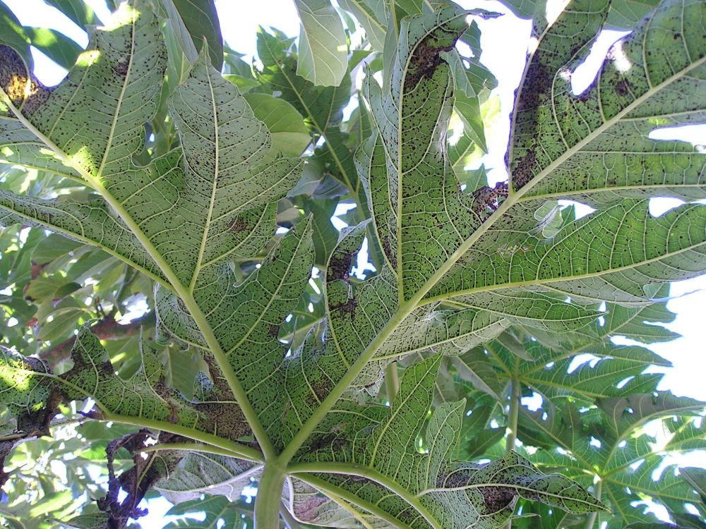 black spot disease (Asperisporium caricae) on pawpaw