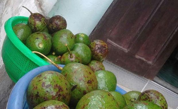 Avocado infected by anthracnose disease/ Bơ bị bệnh thuyên giảm