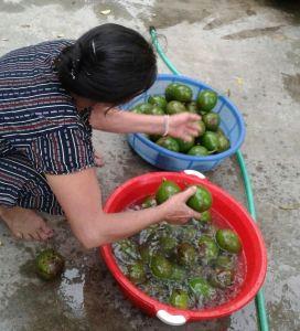 Washing water can spread anthracnose disease/ Xử lý nước có thể lây lan bệnh bệnh thắt cổ