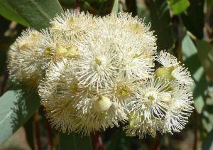 Silver-leafed Ironbark, Eucalyptus melanophloia