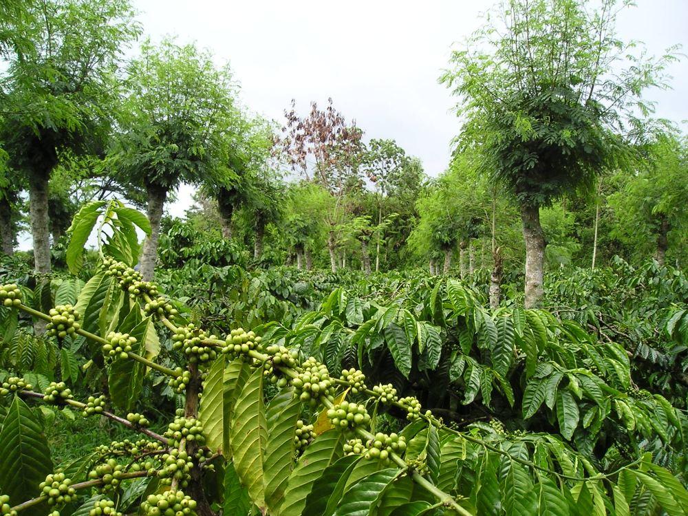 Coffea robusta, flanks of Kelud Volcano, Java.