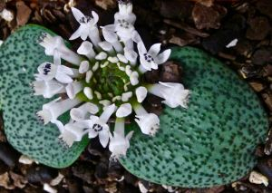 Massonia amoena. A prostrate, drought-adapted relative of hyacinth from S. Africa.