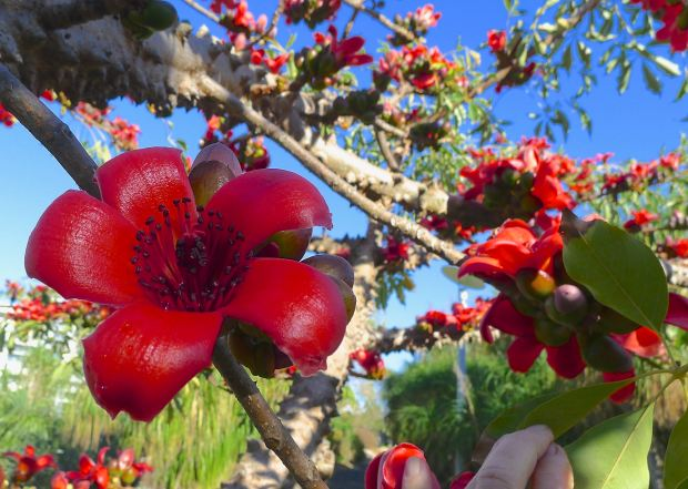 Red Cotton tree, Ceiba bombax. Roma Street Parkland.