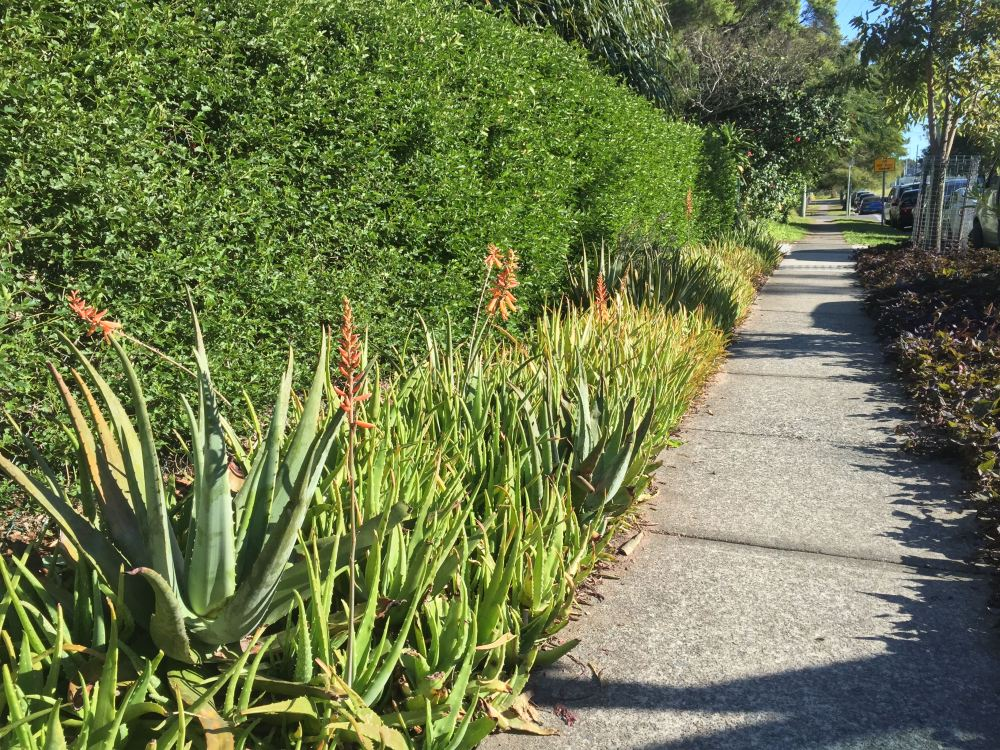 Aloe vera border at Bellis