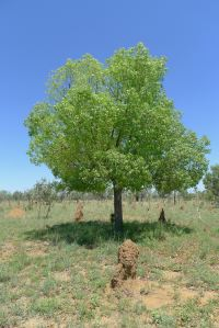 Broad-leaved Bottle tree, Brachychiton australis, near Aramac.
