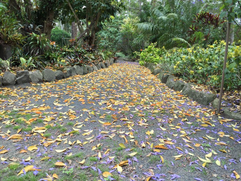 Fallen leaves of fiddle-wood, Citharexylum montividense, near Mt Crosby.