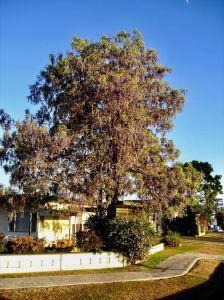 Tree wistaria, Bolusanthus speciosus, Monto.