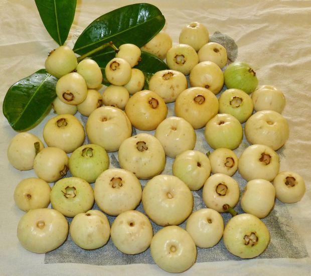 750g Coolamon (Syzygium moorei) fruit