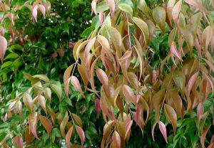 Grow Syzygium luehmannii, for a productive, blemish-free hedge.