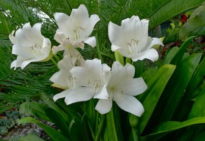 Crinum x powellii 'Alba' requires protection from midday and afternoon sunshine. Spray with neem oil to prevent amaryllis caterpillar attack.