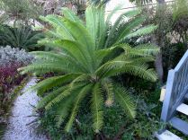 Dioon spinulosum. Purchased 1995, planted 2004. A spectacular alternative to Cycas revoluta which is attacked by cycad blue butterfly.
