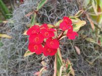Euphorbia splendens 'Fireworks'.